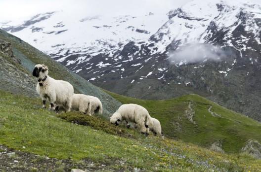 Schneeweisse Schwarznasen - die Walliser und ihre Schafe