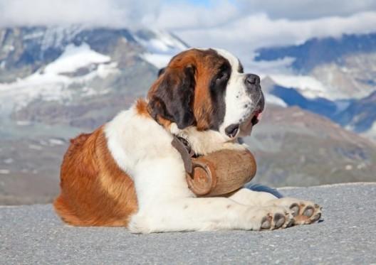 """Bernhardiner in der Schweiz: Was macht der """"Lawinenhund"""" heute?"""