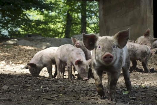 Viele Bauernbetriebe von tierfreundlicher Schweinehaltung weit entfernt