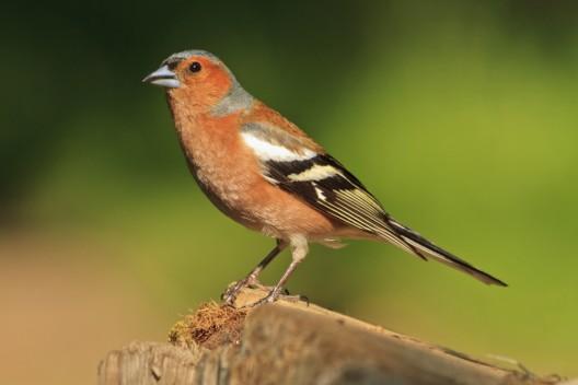 Hunderttausende Vögel pro Jahr auch in Mittel- und Nordeuropa gewildert