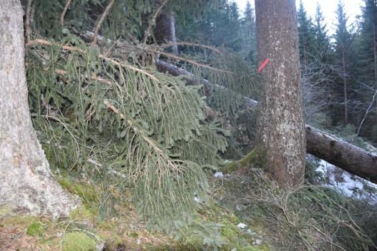 Klosters GR: Von Baum gestürzt - Arbeiter (53) lebensgefährlich verletzt