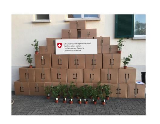 Rheineck SG: Grenzwächter stoppen Transporter mit 1200 Hanfpflanzen