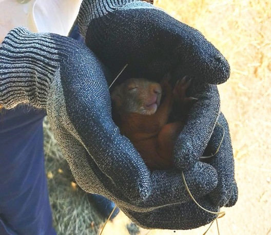 Junges Eichhörnchen von Feuerwehr gerettet