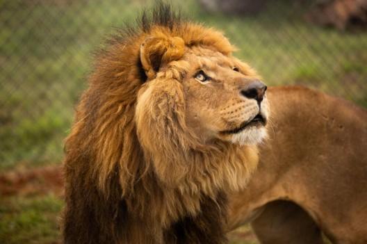 Zwei aus dem Gaza gerettete Löwen treffen in LIONSROCK ein