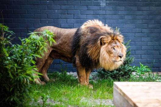 Aus albanischem Horror-Zoo gerettet: Löwen erreichen neues Zuhause