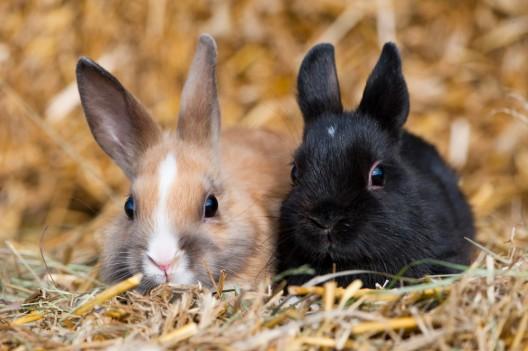 Vermehrte Fälle von lebensbedrohlicher Viruserkrankung bei Kaninchen