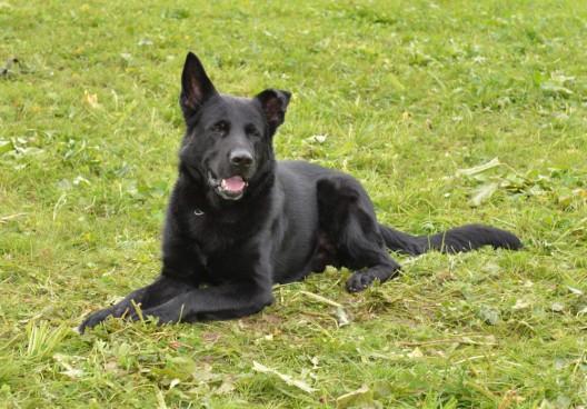 Rothenburg LU: Rumänischer Einbrecher von Diensthund Tyson gestellt