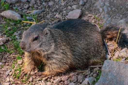 Murmeli auf der Klewenalp erschossen - das sagt der Tierschutzverein Nidwalden