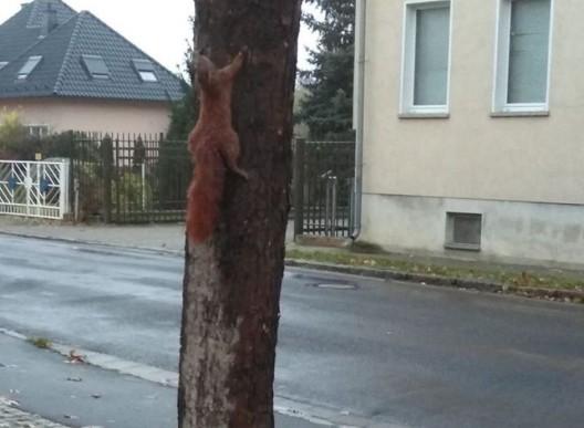 Bad Liebenwerda: Tierqäler nagelt Eichhörnchen an Baum - Belohnung für Hinweise