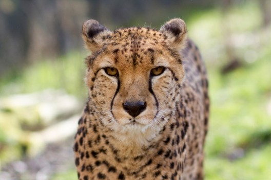 Lebensgefährliche Aktion: Schüler (16) steigt in ein Gepardengehege