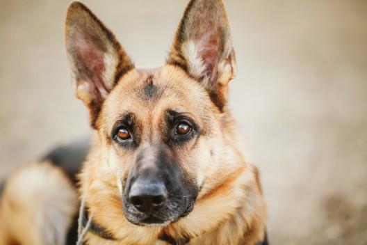 Läufelfingen BL: Polizeihundeprüfung findet auf dem Dietisberg statt