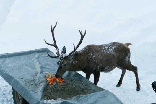 Kanton GR: Hirsch mit sechs Kilo Plastikabfall im Magen