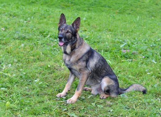 Stadt Luzern LU: Italiener stiehlt Kleider aus Autos - Diensthund überführt den Dieb