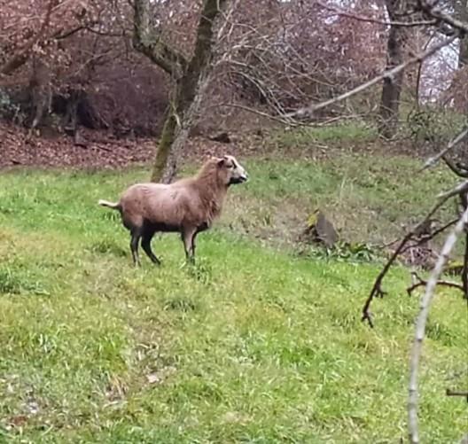 Herrenloses Schaf beschäftigt Polizei & Anwohner