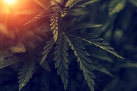 Studie zu Cannabis-Konsum: Erfolgreiche Strategien zur Selbstregulation