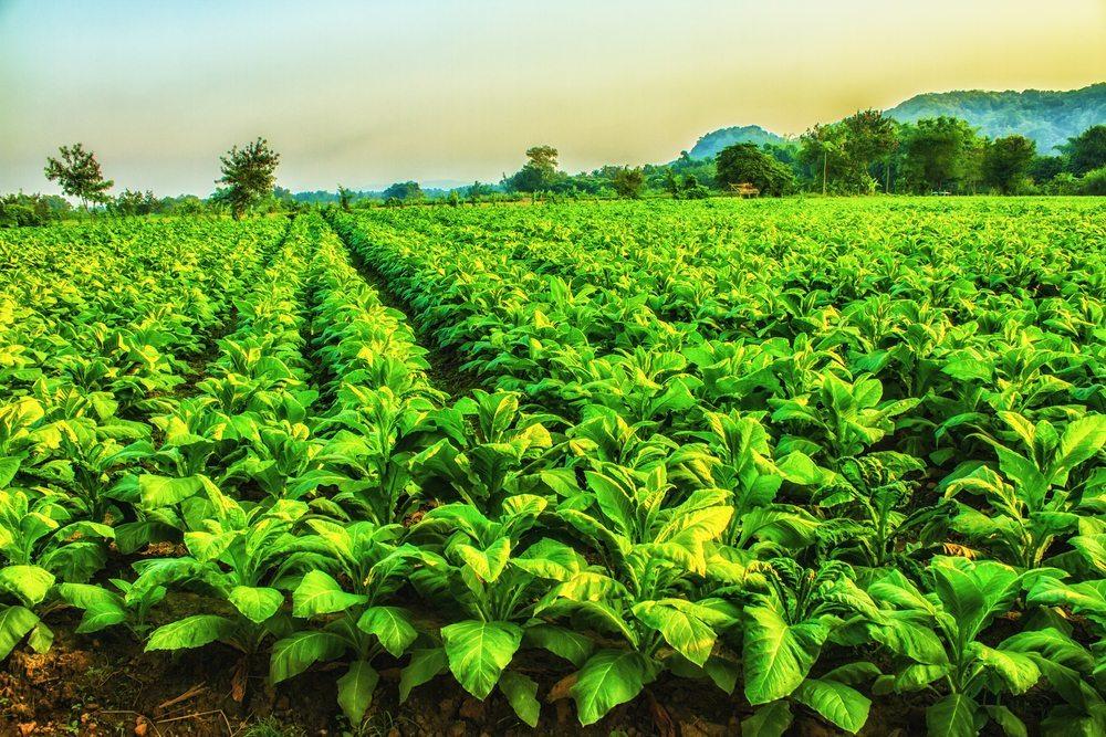 Natürlich bremst auch die Tabakindustrie ganz bewusst den Schritt zur Legalisierung der E-Zigaretten. (Bild: wanvinai samsee / Shutterstock.com)
