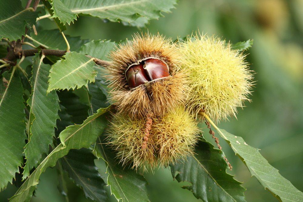 Die Kastaniengallwespe hat Ernteausfällen in den Tessiner Wäldern verursacht. (Bild: patjo / Shutterstock.com)