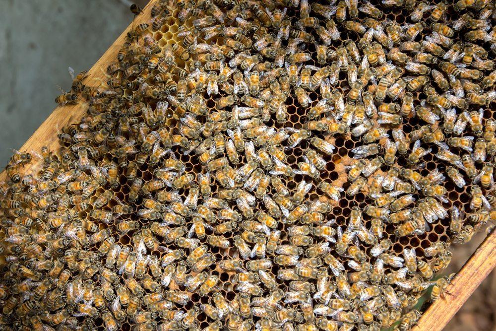 Die Bienenbestände nehmen weltweit ab. In der Schweiz ging der Bienenbestand 2012 um die Hälfte zurück. (Bild: Krit Leoniz / Shutterstock.com)