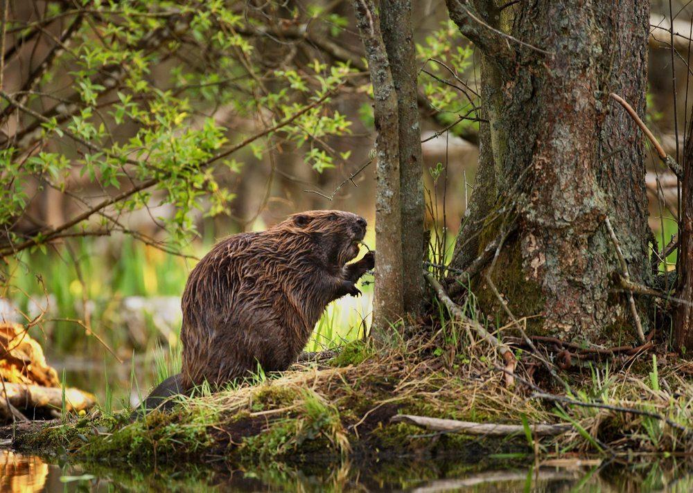 Biber gestalten ihren Lebensraum nach eigenen Wünschen und Bedürfnissen. (Bild: © BMJ - shutterstock.com)