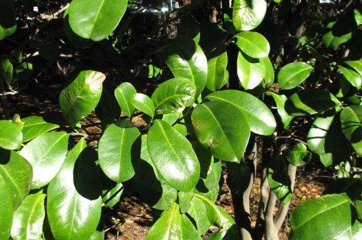 Fontainea-Pflanze im Botanischen Garten in Melbourne, Australien (Bild: Melburnian, Wikimedia, CC)