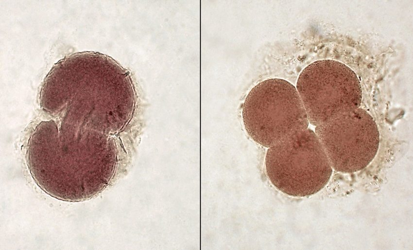 Embryonen im 2- und 4-Zellen-Stadium (Bild: Minami Himemiya – shutterstock.com)