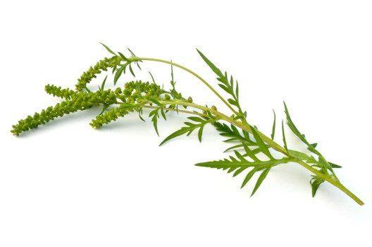Die Ambrosia ist ein bedeutendes Schadunkraut. (Bild: Melinda Fawver – shutterstock.com)
