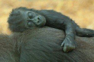 gorillababy-Rob Francis-shutterstock_57672280