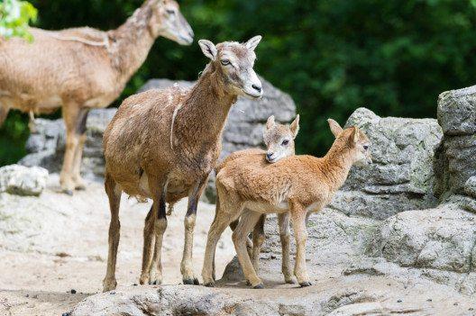 Der Zoo Basel freut sich über einen fünffachen Mufflon-Nachwuchs. (Bild: Zoo Basel)