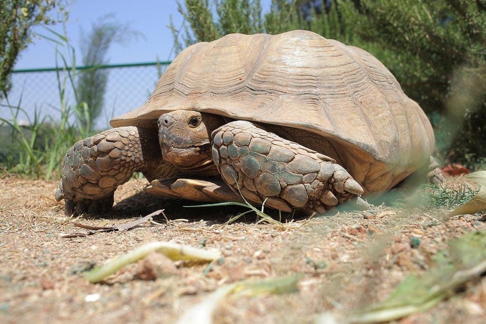 Eine der beiden Schildkröten in ihrem neuen Zuhause, dem New Hope Center in Jordanien. (Bild: © VIER PFOTEN | Mohamed Salhi)