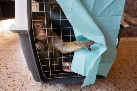 Einer der fünf im Khan Younis Zoo verbliebenen Affen, der in seiner Transportbox geduldig auf den Transfer nach Jordanien wartet