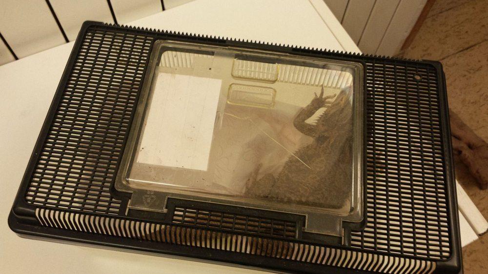 Die Bartagame befand sich in einem Plastikbehälter (Bild: © Kantonspolizei Basel-Landschaft)