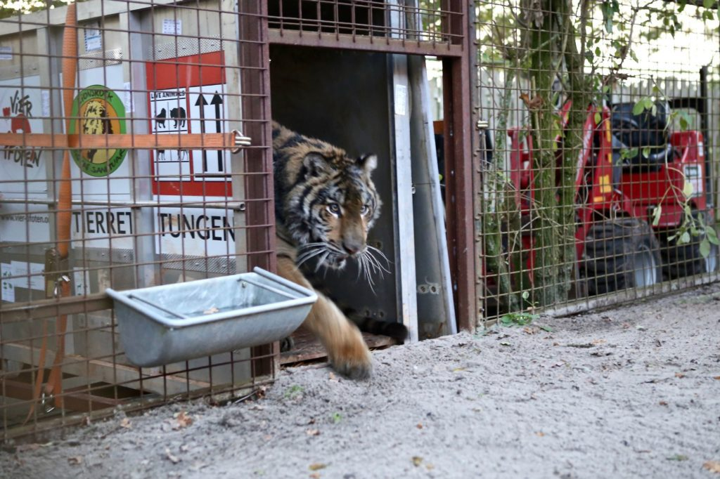 Ankunft in der Grosskatzenstation FELIDA (Bild: © VIER PFOTEN, Jeanine Noordermeer)