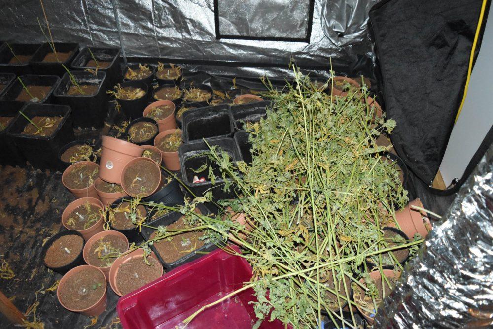 Hanfplantage Entdeckt