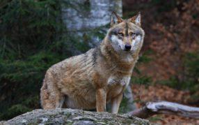 Kanton Graubünden: Regulierung des Beverinrudels – zwei Jungwölfe entnommen
