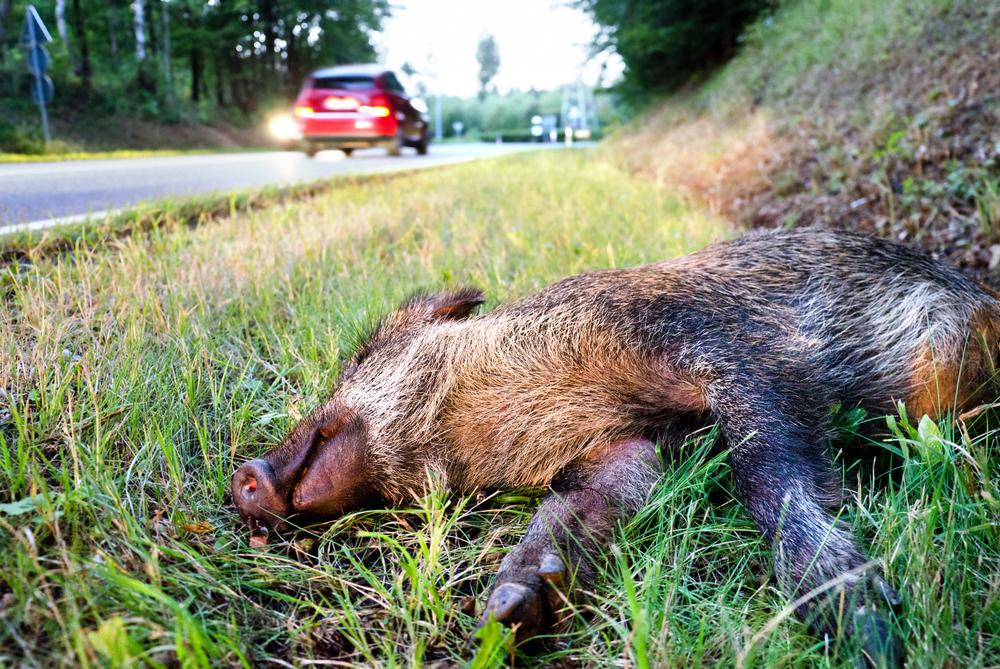 Wildschwein liegt tot an der Strassenseite